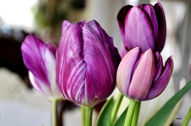 Sac Mau Tulip 2014.. (72)