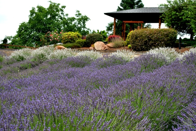 Helvetia Lavender Farm July 12, 2015  (201)